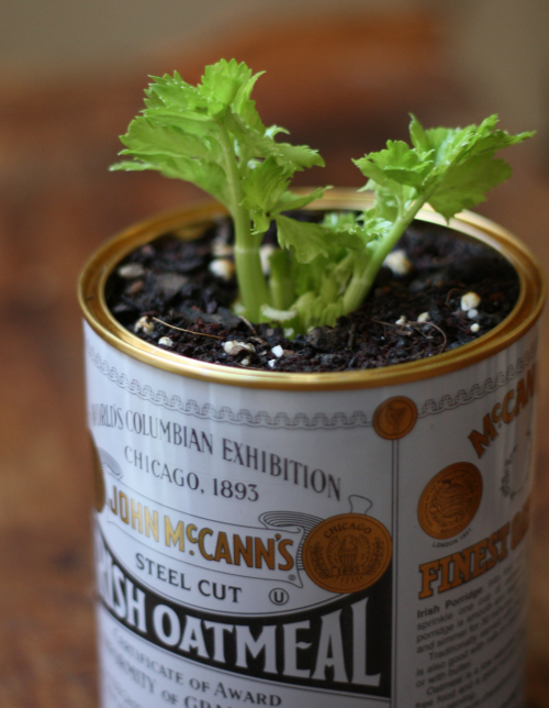How to plant celery indoors