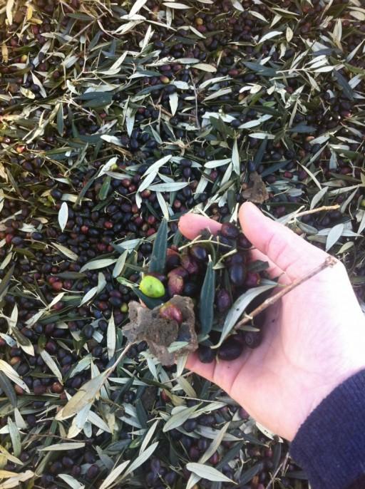 olijven-plukken-764x1024