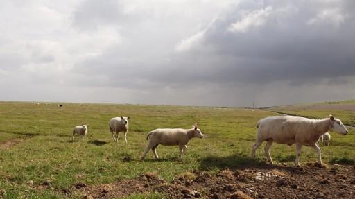 schapen landschap