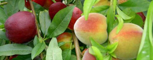 Fruit saladtree3