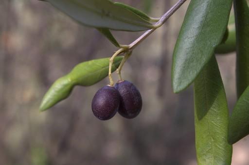 Taggiasche olijf