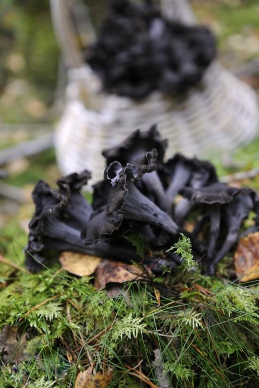 Trompette de la mort paddenstoelen stock