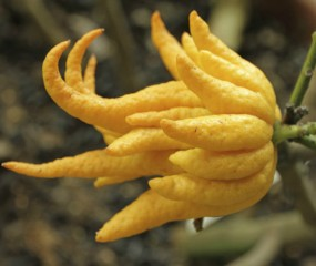 Buddha's hand en 4 andere bijzondere citrusvruchten