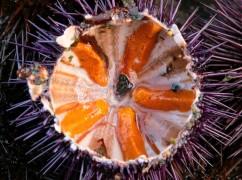 Smaakbommetjes uit de zee: alles over zee-egels