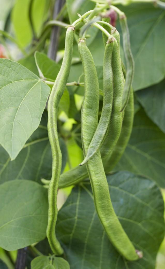 Runner beans, close up