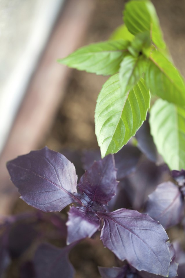 Thaise basilicum stock