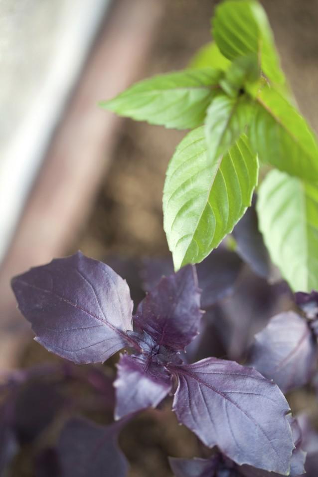 Groene en paarse Thaise basilicum