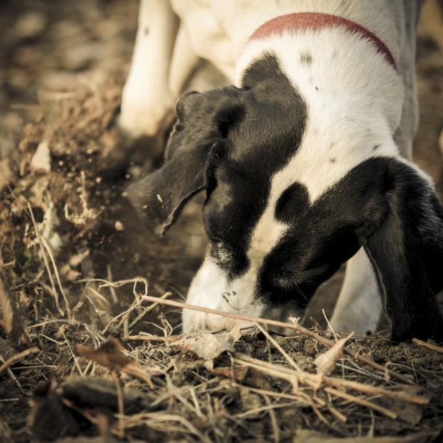 jachthond truffel stock