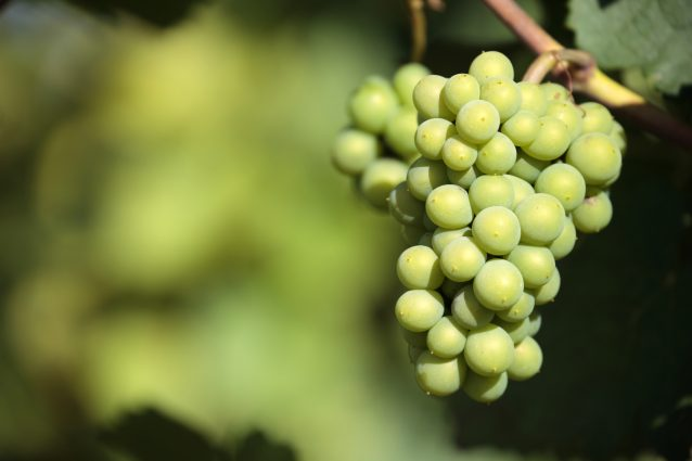 Sauvignon blanc white wine grapes vineyard