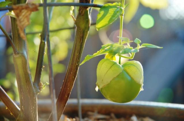 Tomatillo stock