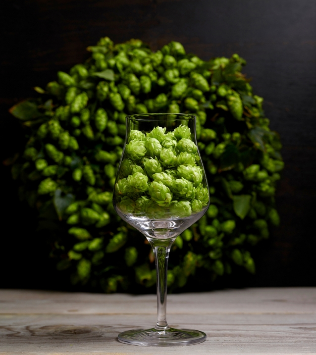 A tasting glass filled with fresh green hops. A bouquet of hops in the backgound. A sommelier uses this kind of glass for beer tasting. Hops are an important ingredient for beer brewing. With hops comes a certain taste into the glass.