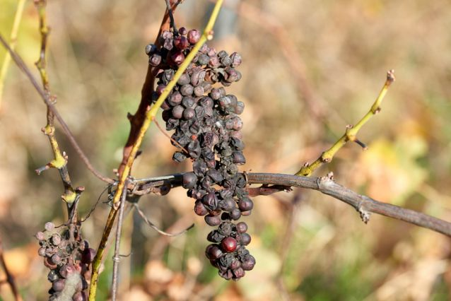 Noble rot of a wine grape, grapes with mold in ligurian near la spezia
