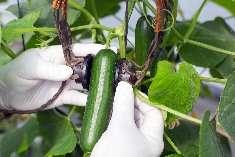 Komkommer aan plant
