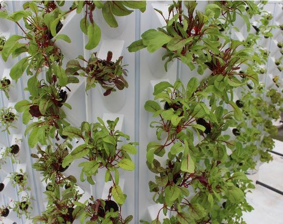 Levende bladgroenten bij Marqt