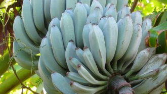 Afbeelding van blauwe bananen